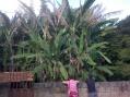 A banana-tree in Carmo da Paranaiba, Brazil