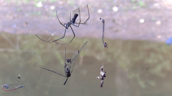 Brazilian spider about to devour its prey