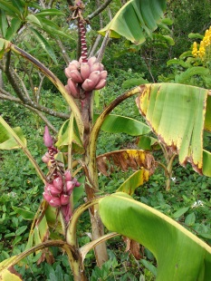 Musa velutina bananas are pink. They taste sweet but the seeds can chip a tooth