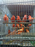 Beautiful Orange birds in Belo Horizonte's Mercado Central