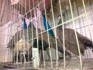You can buy peacocks at Belo Horizonte's Mercado Central