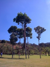 A tree held up by four others.