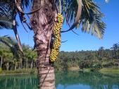 Fruit of the Palmeira-barriguda tree.