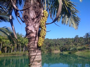 Fruit of the Palmeira-barriguda tree.