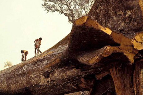 Amazon's oldest tree chopped down by loggers